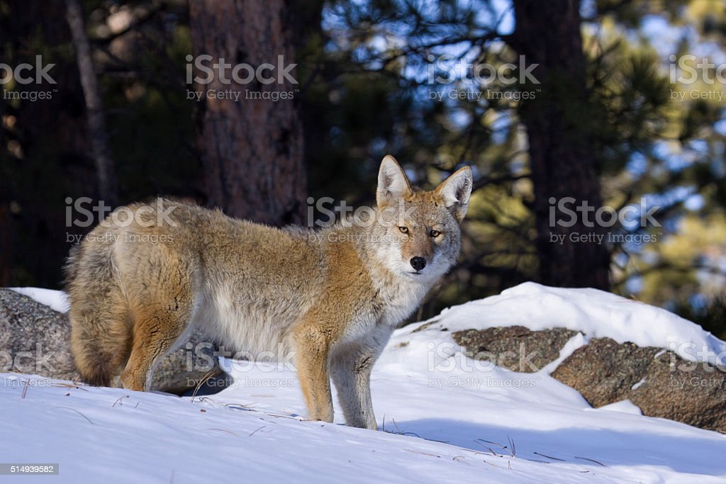 Alert coyote in Colorado snow Rocky Mountain National Park stock photo