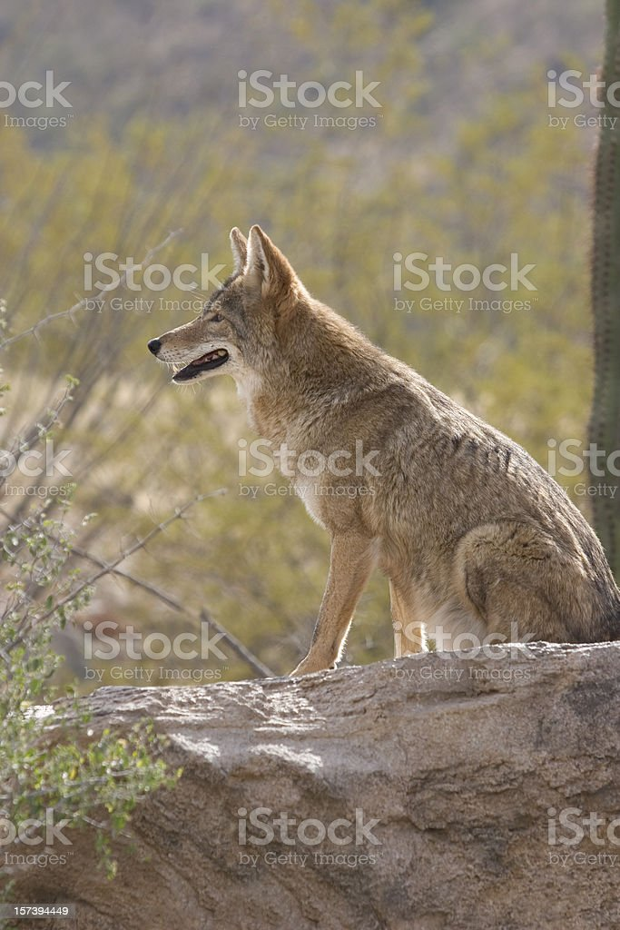 Alert Coyote royalty-free stock photo