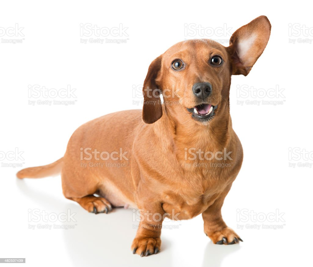 Alert Dachshund with one ear pricked up stock photo