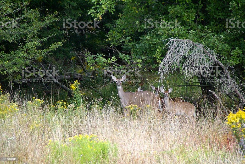 Alert Deer in Woods royalty-free stock photo