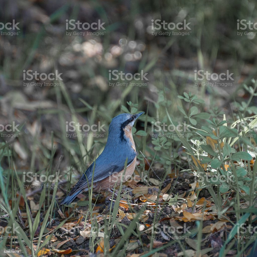 alert Eurasian nuthatch (Sitta europaea) surrounded by grass royalty-free stock photo