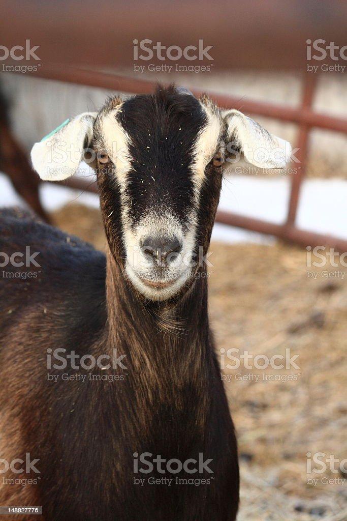Alert Female Goat stock photo