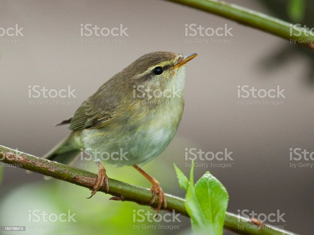 Alert female Willow Warbler (Phylloscopus trochilus) perched on branch stock photo