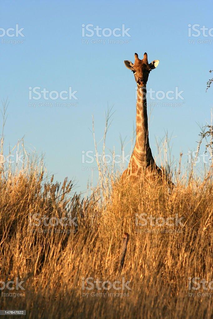 Alert giraffe stock photo