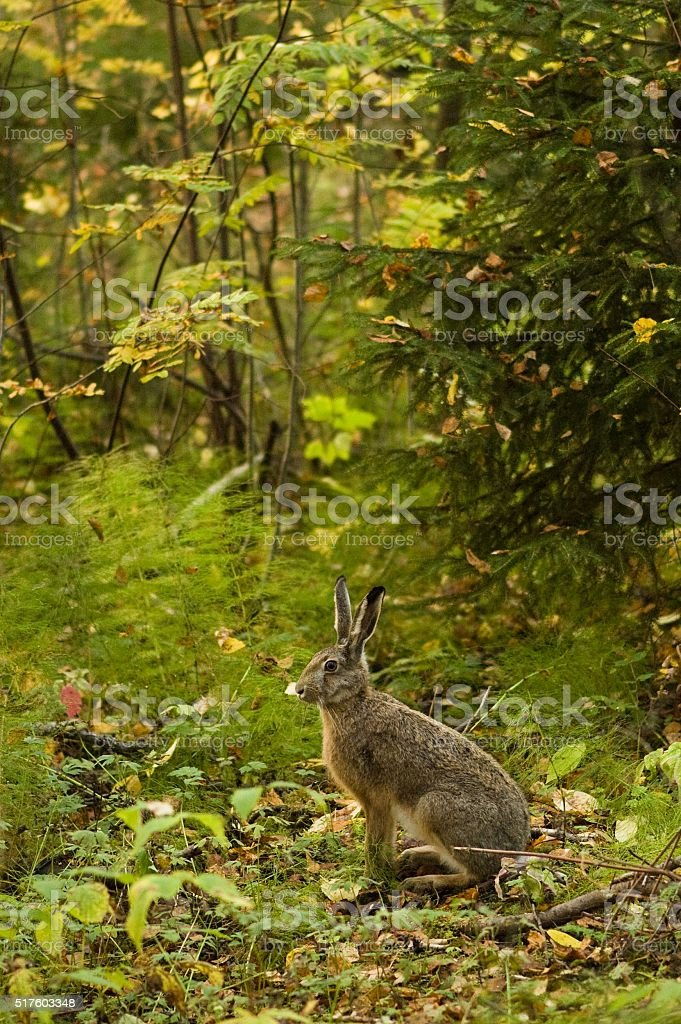 alert hare in the forest stock photo