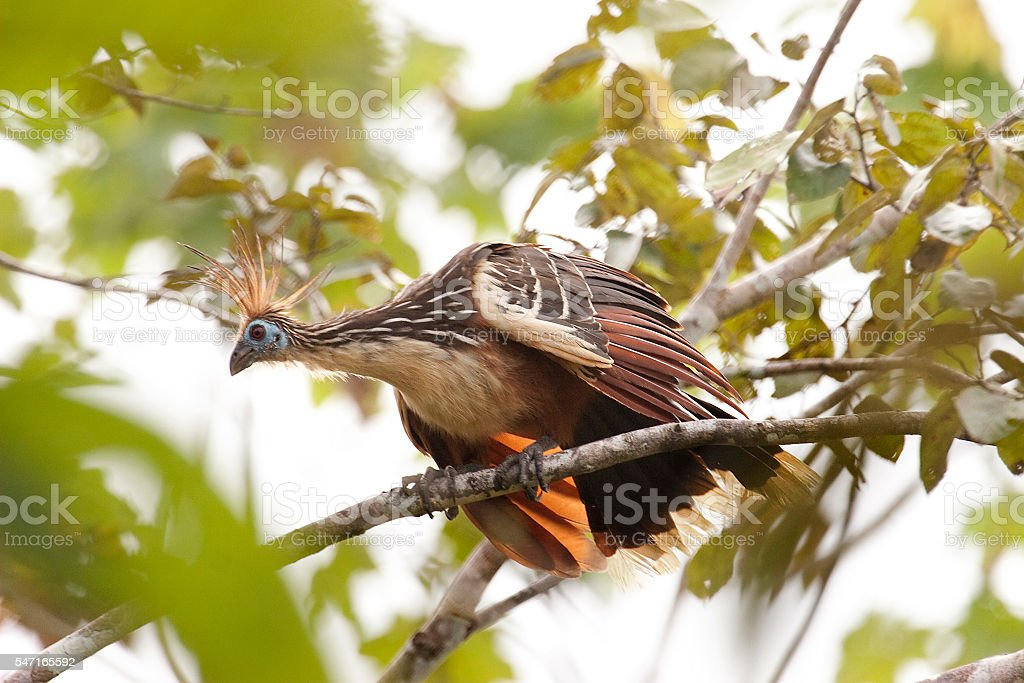 Alert Hoatzin bird in Amazon Rainforest canopy Peru stock photo