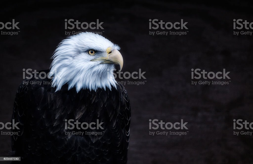 Alert Intense American Bald Eagle Portrait stock photo