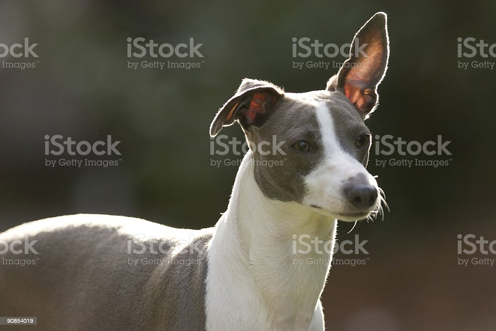 Alert Italian Greyhound stock photo