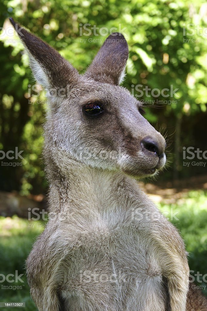 Alert Kangaroo royalty-free stock photo