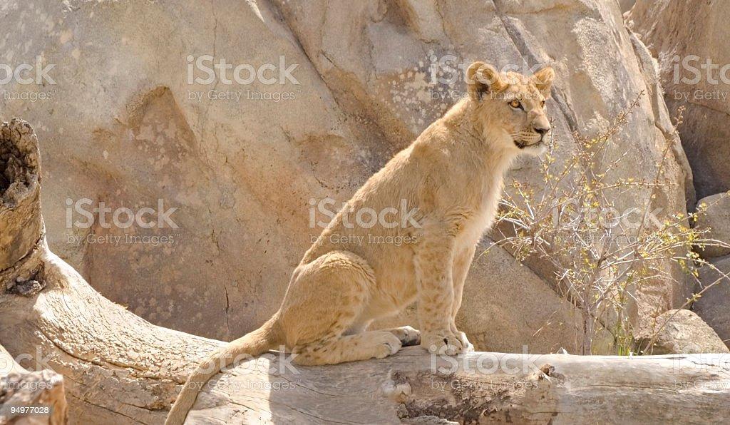 Alert Lion Cub stock photo