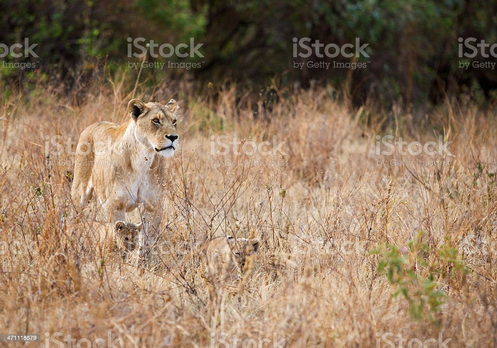 Alert lioness with well camouflaged cubs stock photo