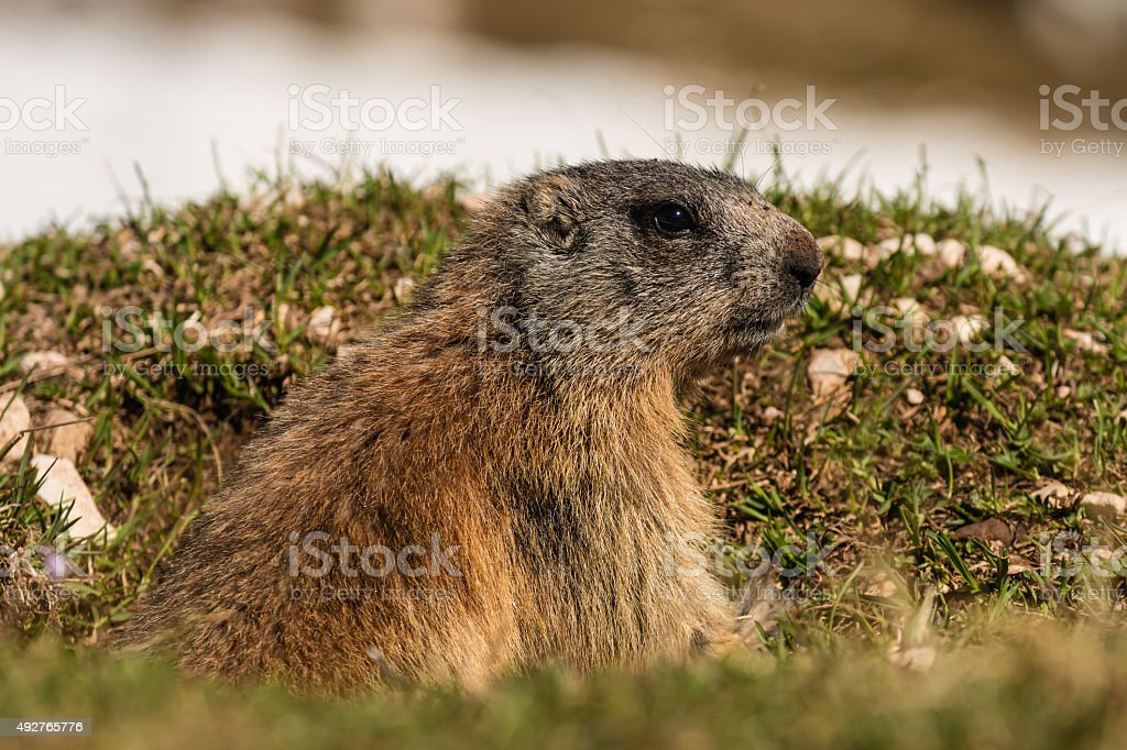 alert marmot stock photo