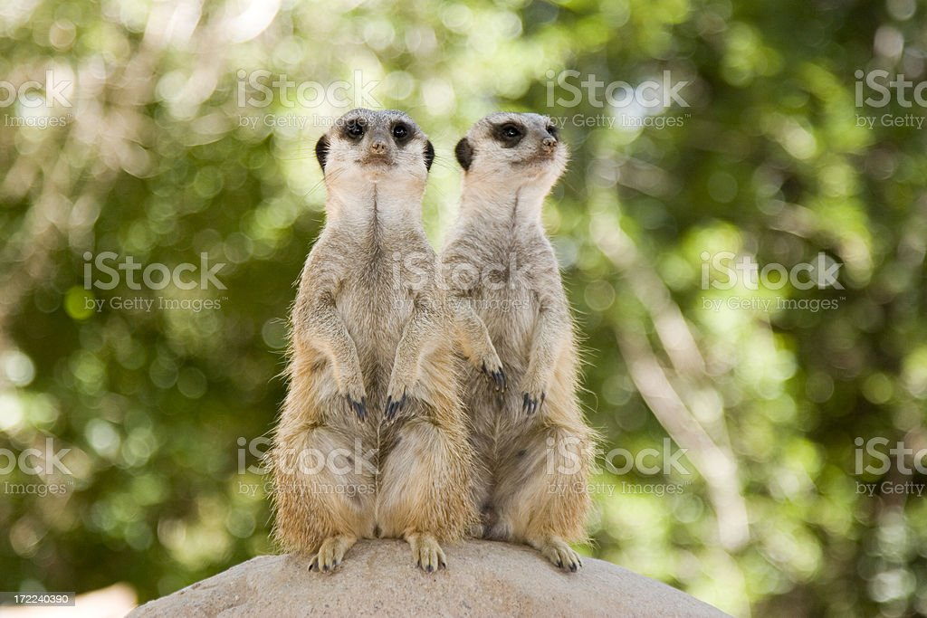 Alert Meerkats royalty-free stock photo
