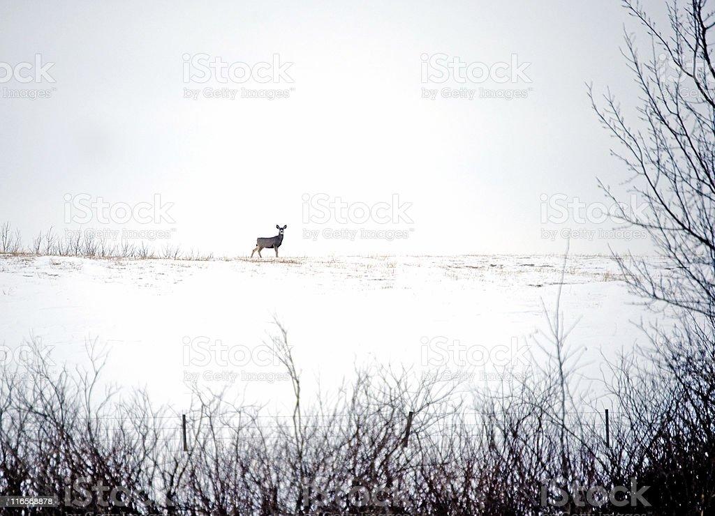 Alert Mule Deer stock photo