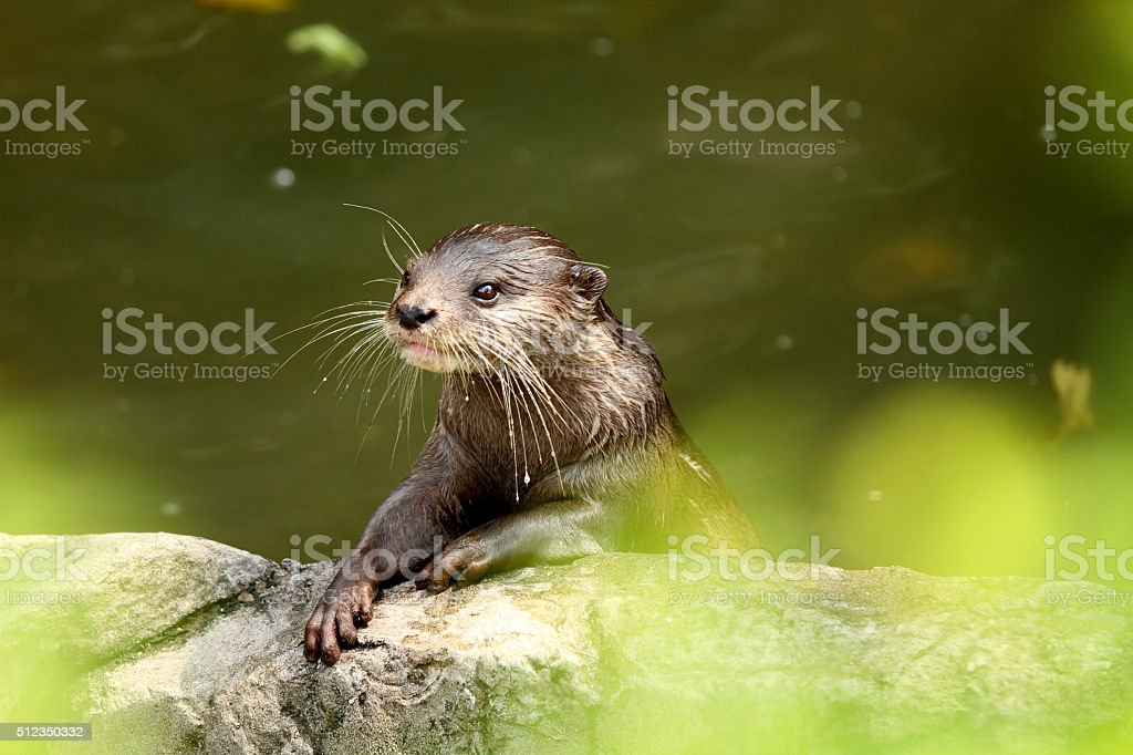 Alert Otter stock photo