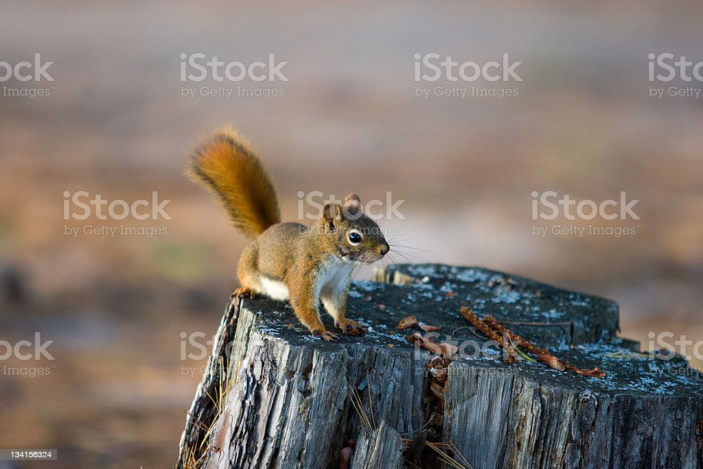 Alert Red Squirrel on Tree Stump royalty-free stock photo