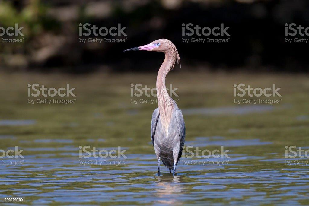 Alert Reddish Egret stock photo