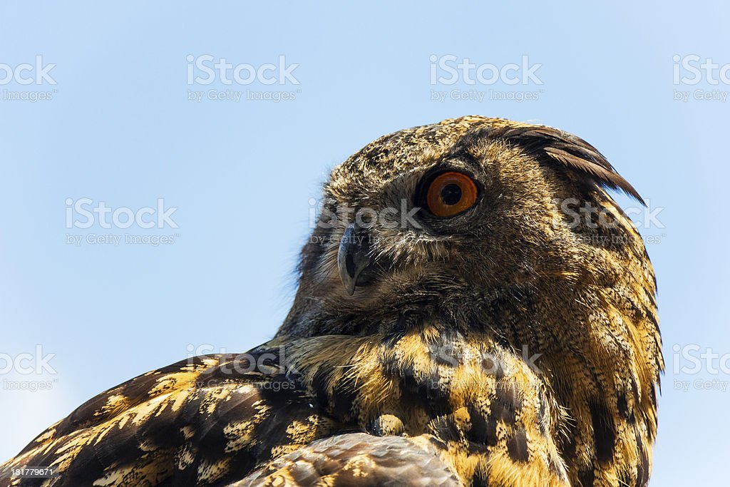 Alert Spotted Eagle Owl stock photo