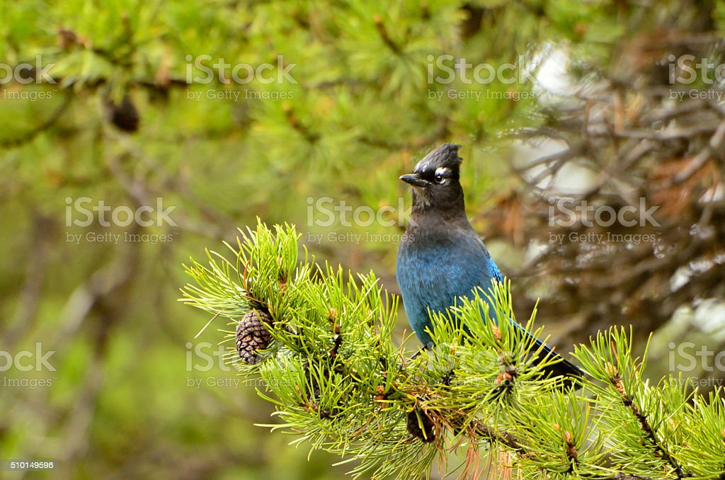 Alert Stellars Jay stock photo