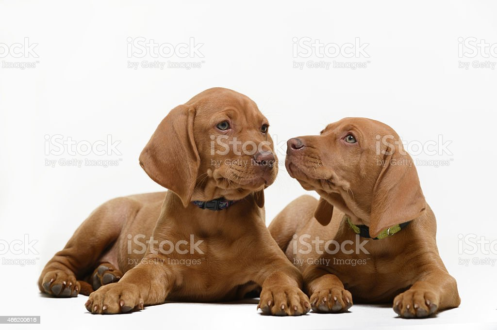 Alert Vizsla puppies on white background stock photo