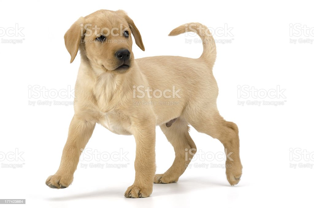 Alert Yellow Labrador Puppy standing-isolated on white stock photo