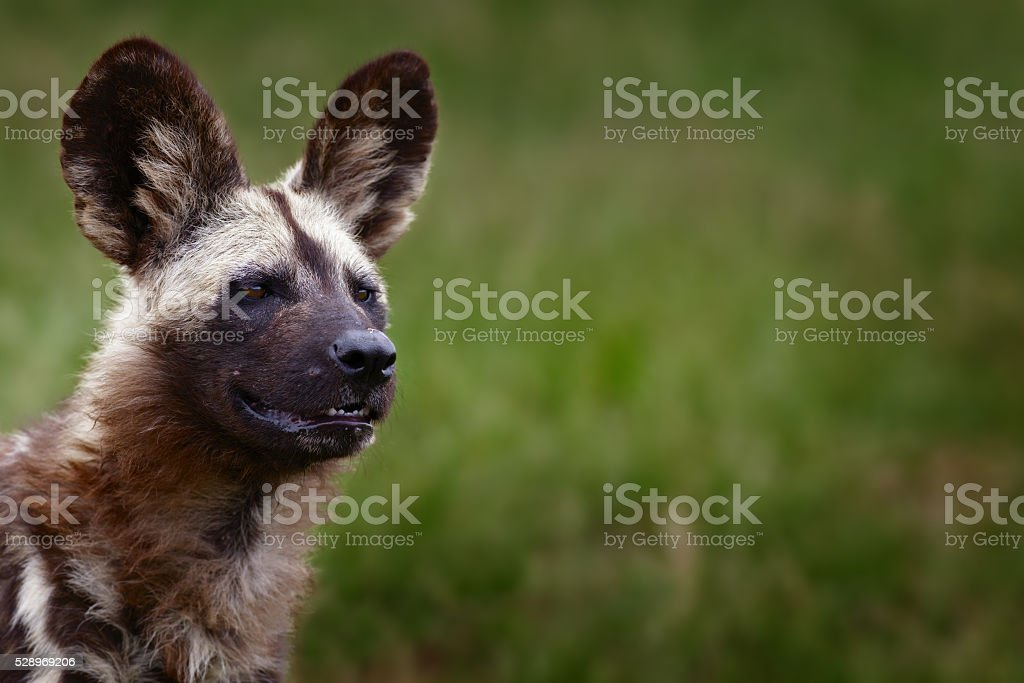 Alerted African Wild Dog stock photo