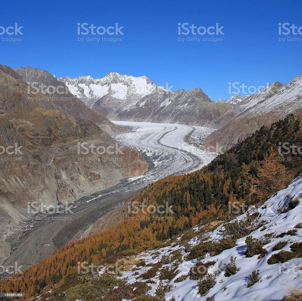 Aletsch Glacier and golden larch trees stock photo