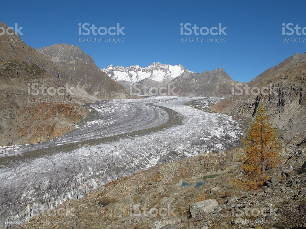 Aletschgletscher And Yellow Larch stock photo