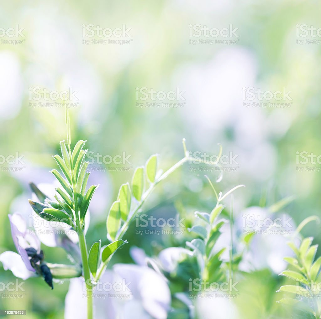 Alfalfa close-up stock photo