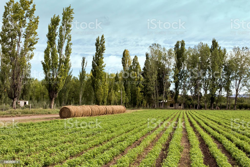 Alfalfa crop stock photo