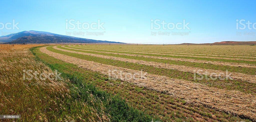 Alfalfa Field in the Pryor Mountains in Montana USA stock photo