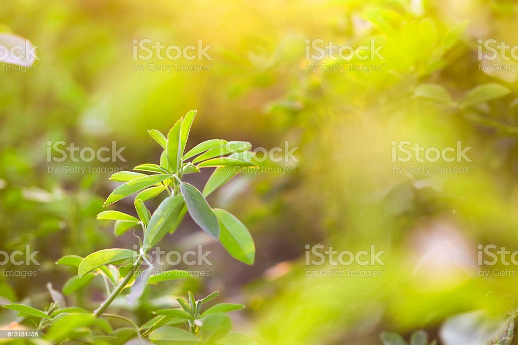 Alfalfa field stock photo