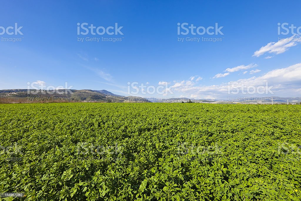Alfalfa Field, Valpolicella stock photo