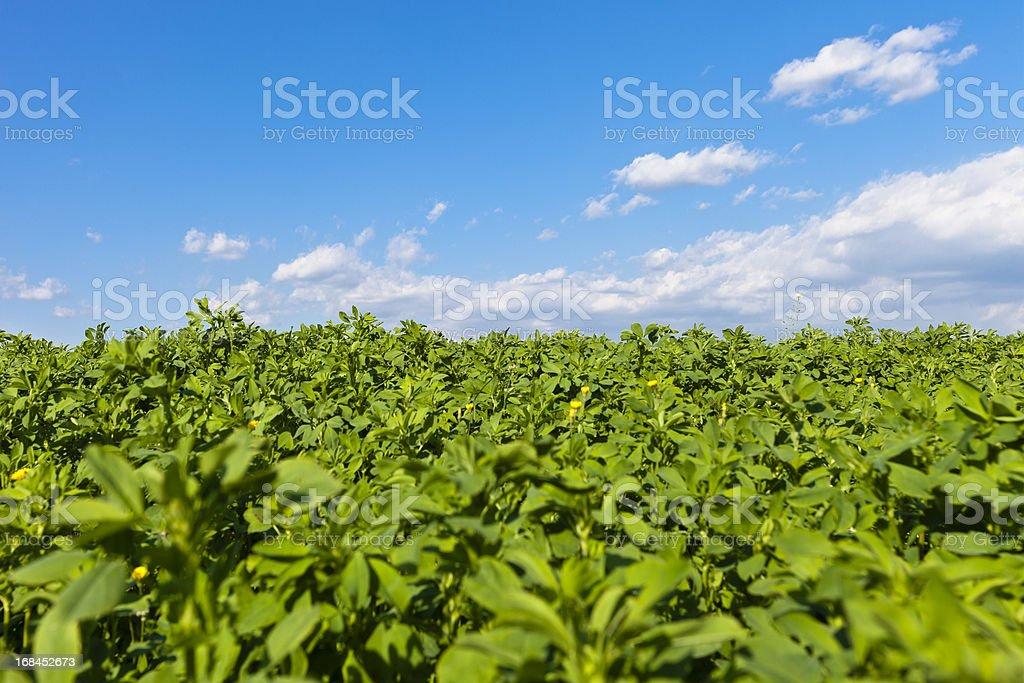 Alfalfa Field, Valpolicella royalty-free stock photo