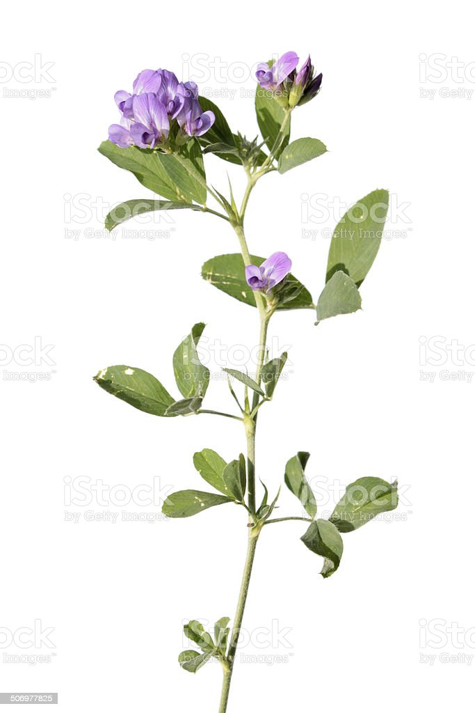 Alfalfa isolated on white stock photo