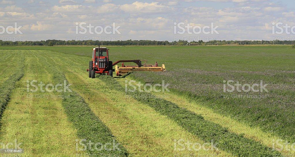 Alfalfa royalty-free stock photo