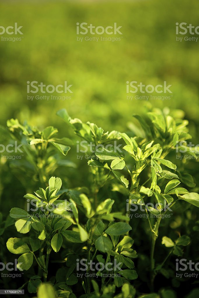 Alfalfa stock photo