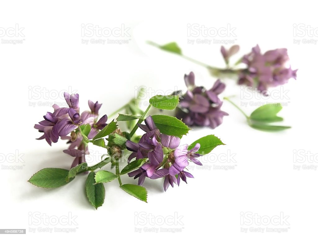 Alfalfa (Medicago sativa) stock photo