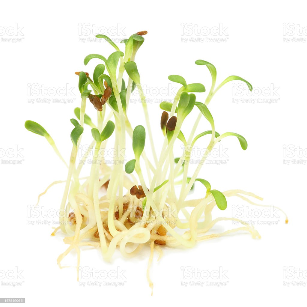 Alfalfa sprouts growing slowly stock photo