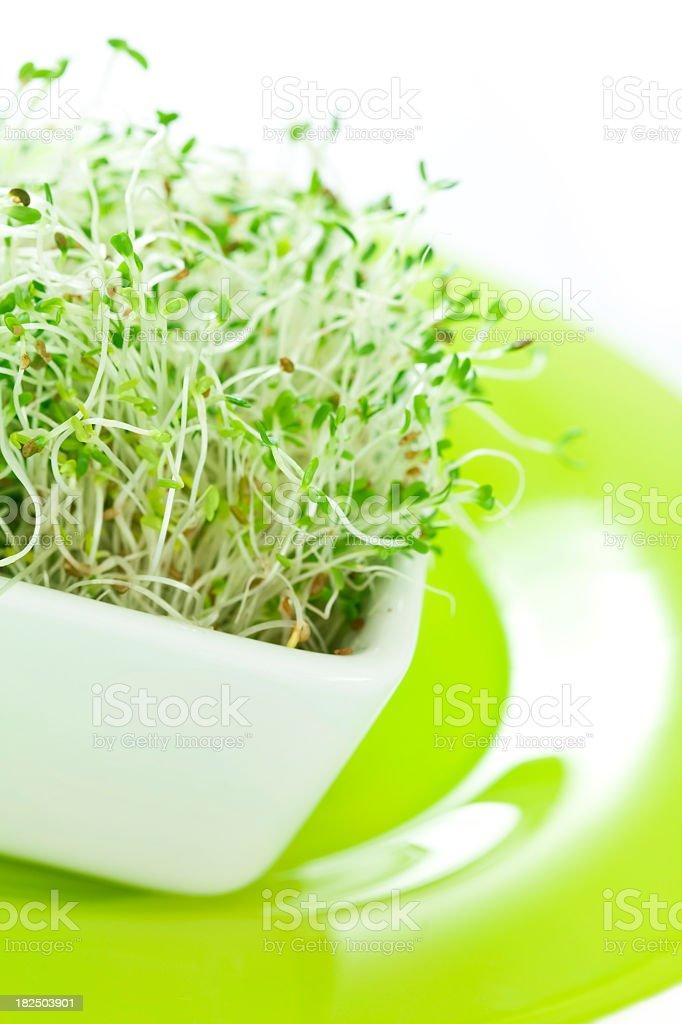Alfalfa sprouts stock photo