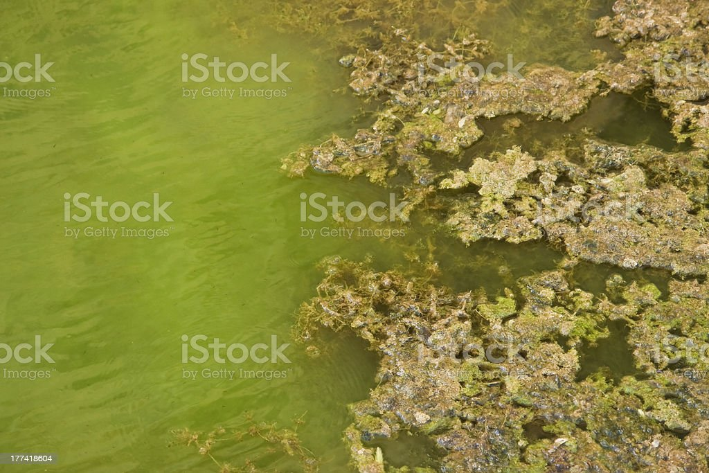 Algae floating in water royalty-free stock photo