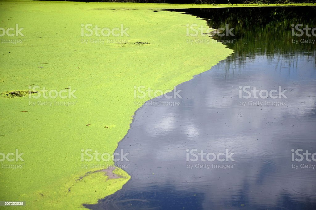 Algae floating on the surface of river. stock photo