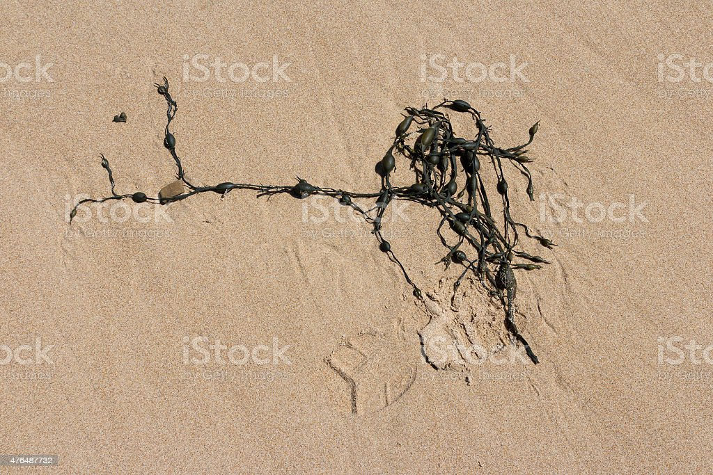 Algae in the sand royalty-free stock photo