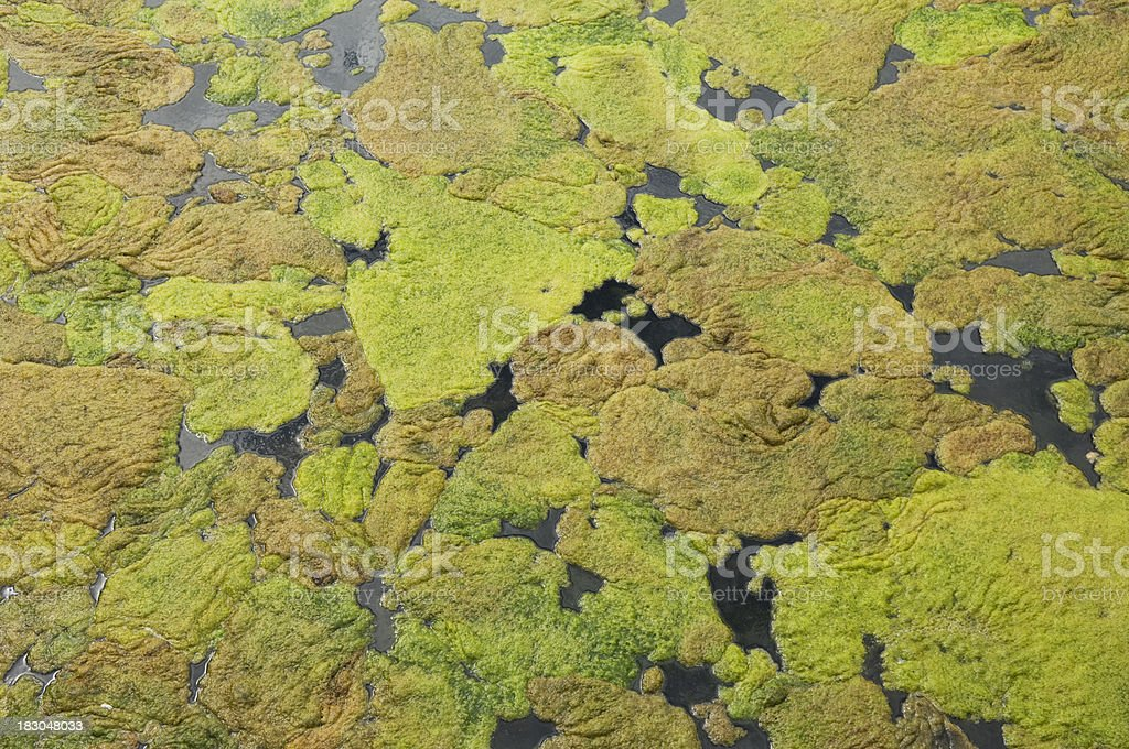 Algae royalty-free stock photo
