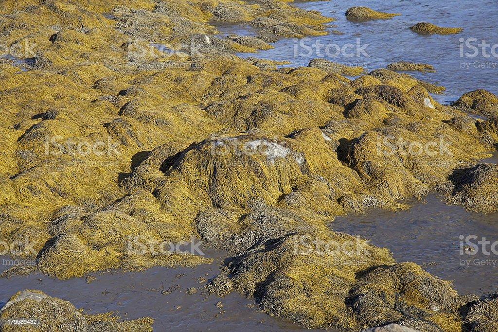 Algae plant in Reykholar. royalty-free stock photo
