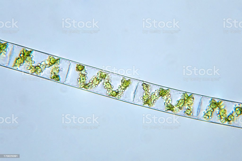 algae, Spirogyra species, micrograph stock photo