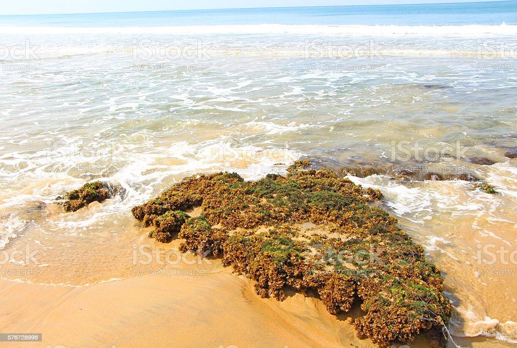 Algae stone. Indian Ocean stock photo