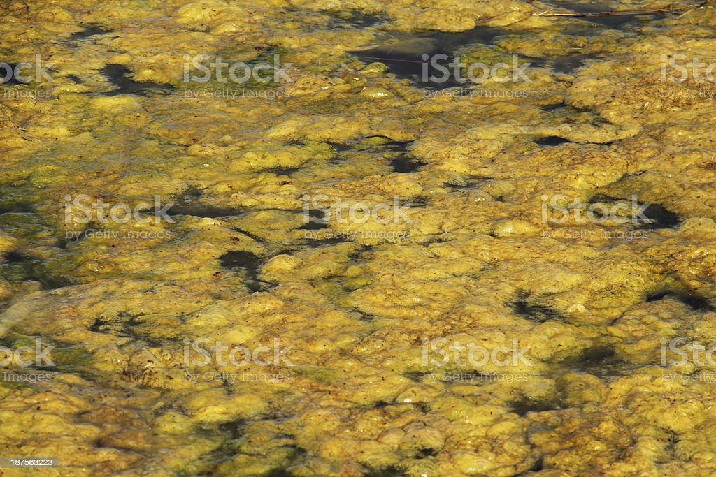 Algae Swamp Marsh Pond royalty-free stock photo