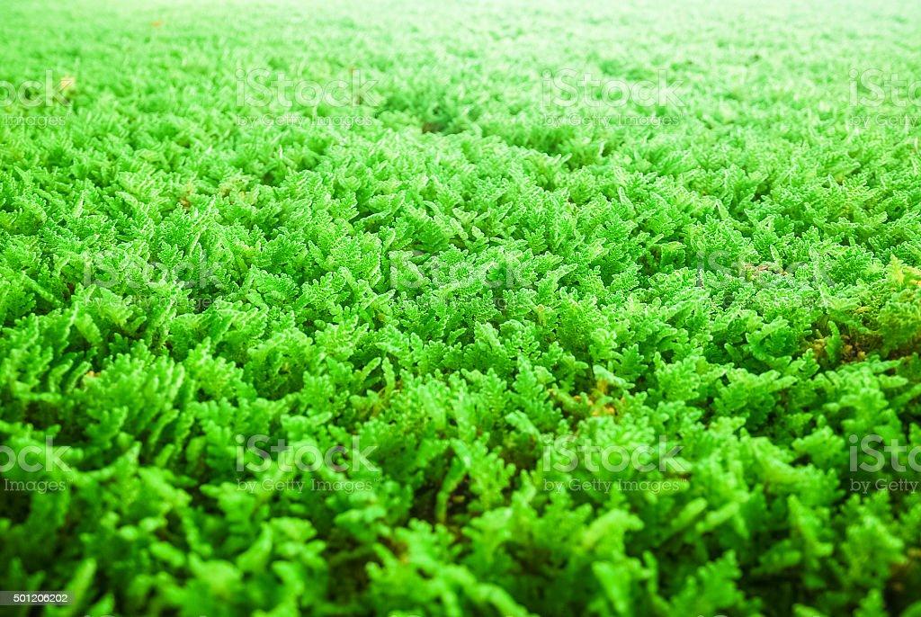 Algae used for water purification stock photo