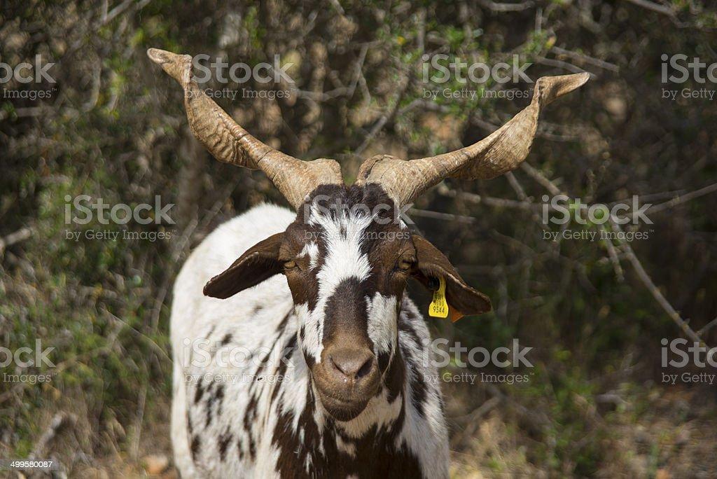 Algarvia Goat royalty-free stock photo